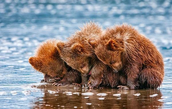 Гризли-медведь-Описание-особенности-виды-образ-жизни-и-среда-обитания-гризли-15