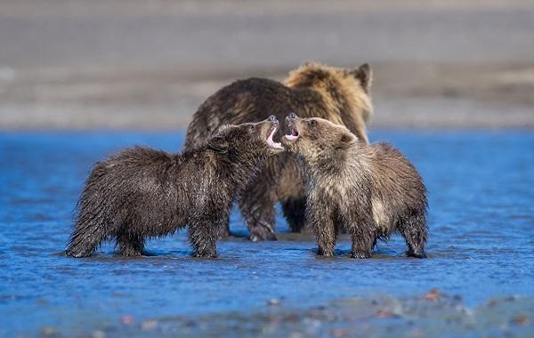 Гризли-медведь-Описание-особенности-виды-образ-жизни-и-среда-обитания-гризли-16