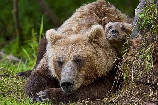 Гризли-медведь-Описание-особенности-виды-образ-жизни-и-среда-обитания-гризли-17