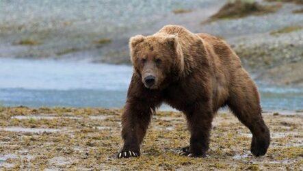 Гризли медведь. Описание, особенности, виды, образ жизни и среда обитания гризли