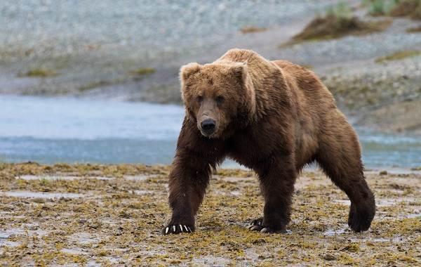 Гризли-медведь-Описание-особенности-виды-образ-жизни-и-среда-обитания-гризли-2