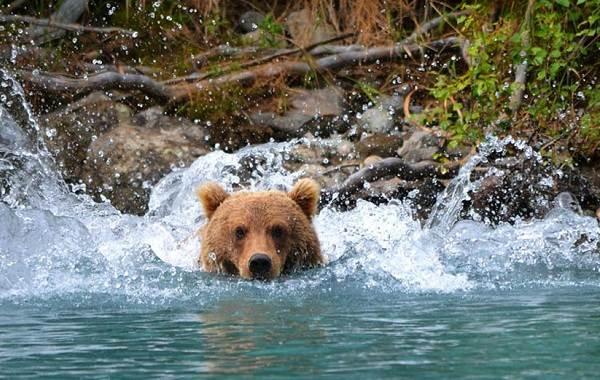 Гризли-медведь-Описание-особенности-виды-образ-жизни-и-среда-обитания-гризли-5