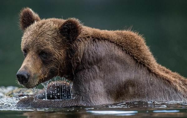 Гризли-медведь-Описание-особенности-виды-образ-жизни-и-среда-обитания-гризли-6