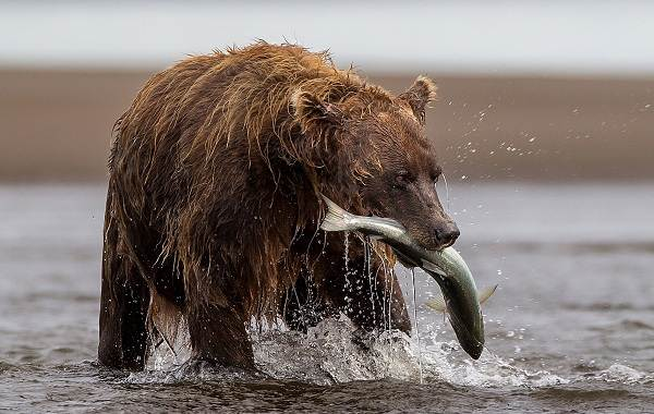 Гризли-медведь-Описание-особенности-виды-образ-жизни-и-среда-обитания-гризли-7