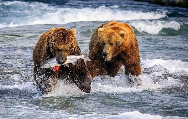 Гризли-медведь-Описание-особенности-виды-образ-жизни-и-среда-обитания-гризли-8