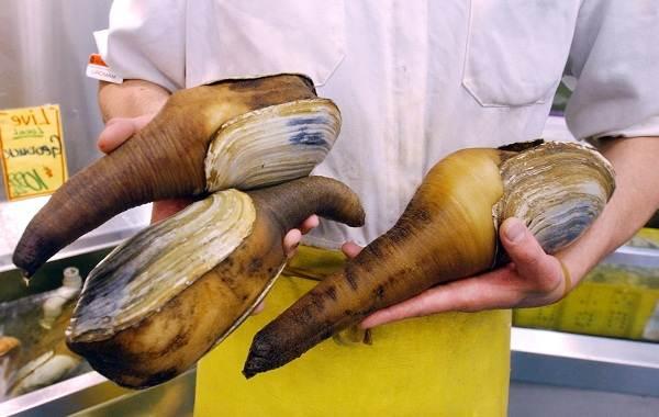 Гуидак-моллюск-Описание-особенности-виды-образ-жизни-и-среда-обитания-гуидака-11