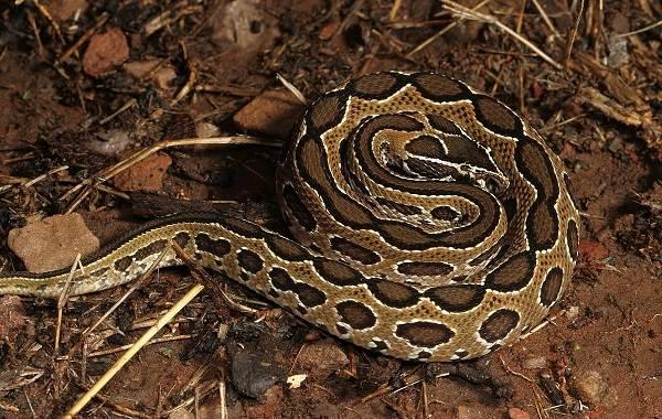 Гюрза-змея-Описание-особенности-виды-образ-жизни-и-среда-обитания-гюрзы-10