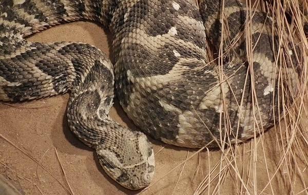 Гюрза-змея-Описание-особенности-виды-образ-жизни-и-среда-обитания-гюрзы-11