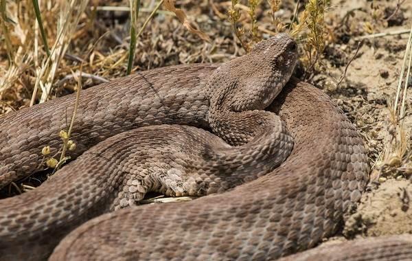 Гюрза-змея-Описание-особенности-виды-образ-жизни-и-среда-обитания-гюрзы-14
