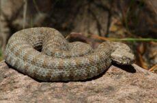 Гюрза змея. Описание, особенности, виды, образ жизни и среда обитания гюрзы