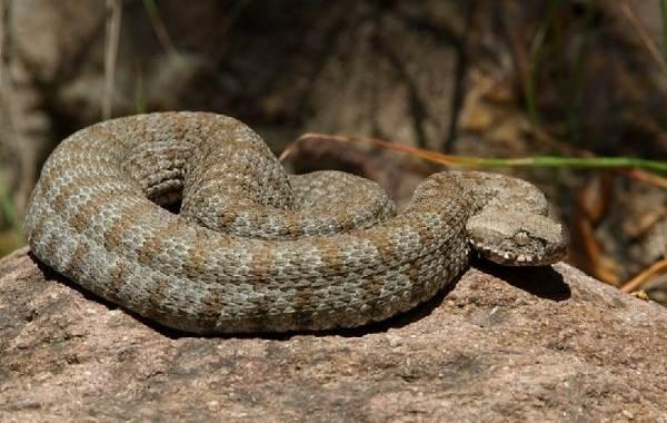 Гюрза-змея-Описание-особенности-виды-образ-жизни-и-среда-обитания-гюрзы-17