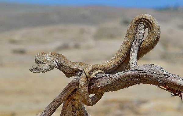 Гюрза-змея-Описание-особенности-виды-образ-жизни-и-среда-обитания-гюрзы-18