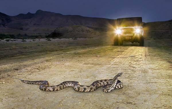 Гюрза-змея-Описание-особенности-виды-образ-жизни-и-среда-обитания-гюрзы-19