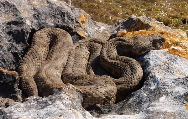 Гюрза-змея-Описание-особенности-виды-образ-жизни-и-среда-обитания-гюрзы-21