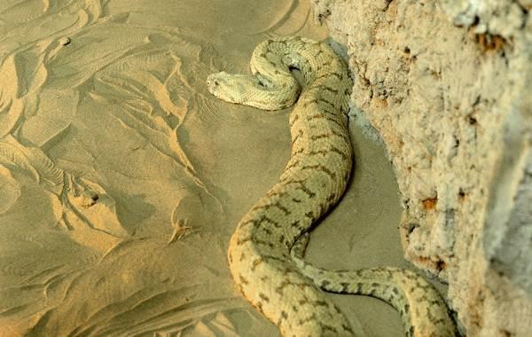Гюрза-змея-Описание-особенности-виды-образ-жизни-и-среда-обитания-гюрзы-22