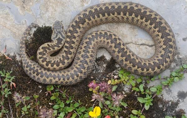 Гюрза-змея-Описание-особенности-виды-образ-жизни-и-среда-обитания-гюрзы-5