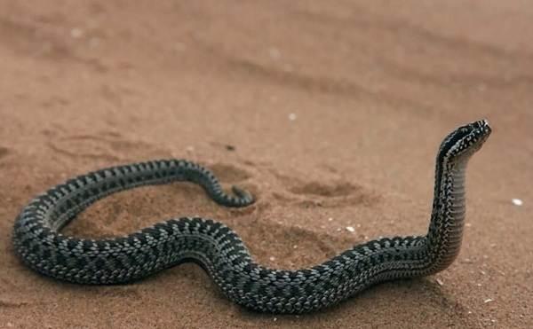 Гюрза-змея-Описание-особенности-виды-образ-жизни-и-среда-обитания-гюрзы-6