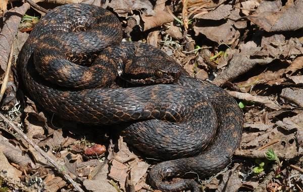 Гюрза-змея-Описание-особенности-виды-образ-жизни-и-среда-обитания-гюрзы-7
