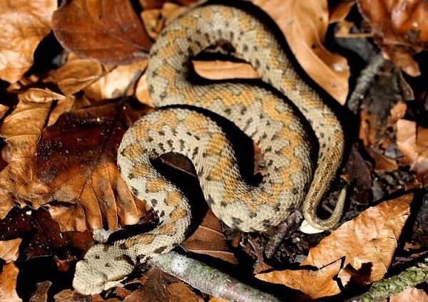Гюрза-змея-Описание-особенности-виды-образ-жизни-и-среда-обитания-гюрзы-8