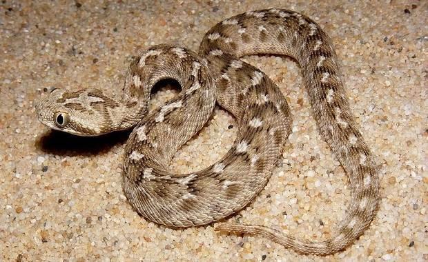 Гюрза-змея-Описание-особенности-виды-образ-жизни-и-среда-обитания-гюрзы-9