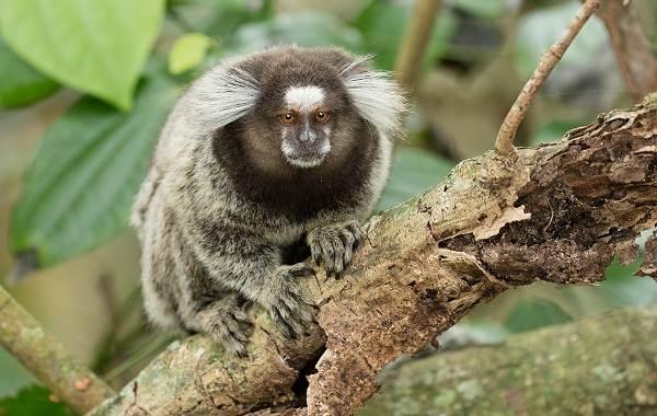 Игрунка-карликовая-обезьяна-Описание-особенности-виды-образ-жизни-и-среда-обитания-игрунки-1