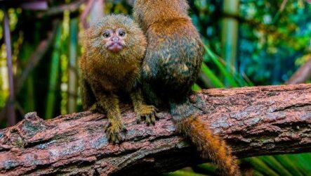 Игрунка карликовая обезьяна. Описание, особенности, виды, образ жизни и среда обитания игрунки