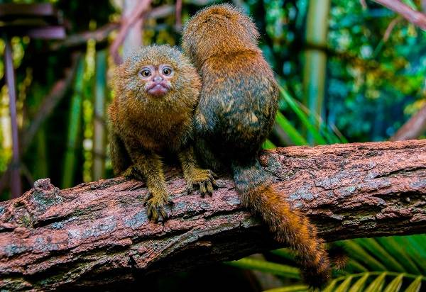 Игрунка-карликовая-обезьяна-Описание-особенности-виды-образ-жизни-и-среда-обитания-игрунки-10