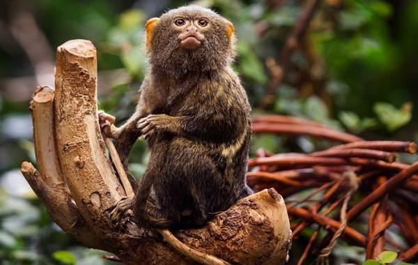 Игрунка-карликовая-обезьяна-Описание-особенности-виды-образ-жизни-и-среда-обитания-игрунки-11