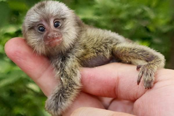 Игрунка-карликовая-обезьяна-Описание-особенности-виды-образ-жизни-и-среда-обитания-игрунки-12
