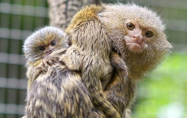 Игрунка-карликовая-обезьяна-Описание-особенности-виды-образ-жизни-и-среда-обитания-игрунки-14