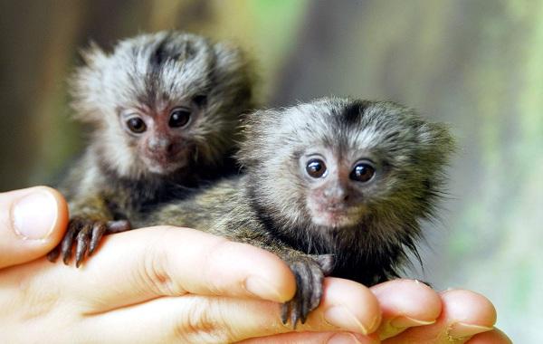 Игрунка-карликовая-обезьяна-Описание-особенности-виды-образ-жизни-и-среда-обитания-игрунки-15