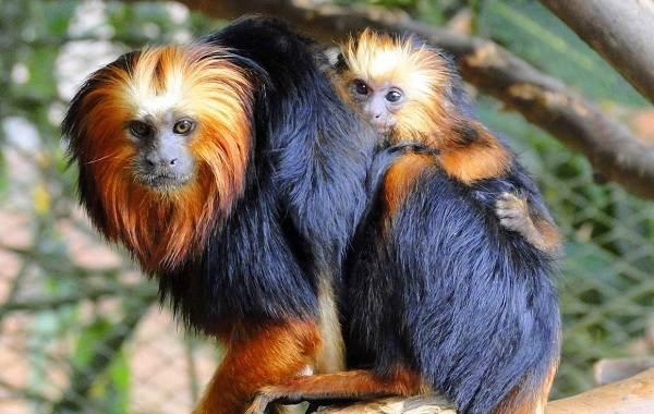 Игрунка-карликовая-обезьяна-Описание-особенности-виды-образ-жизни-и-среда-обитания-игрунки-2