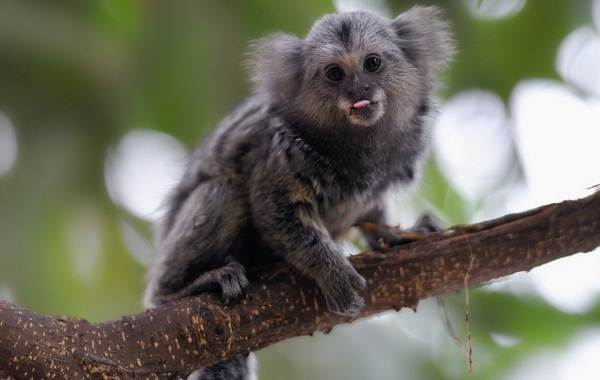 Игрунка-карликовая-обезьяна-Описание-особенности-виды-образ-жизни-и-среда-обитания-игрунки-3