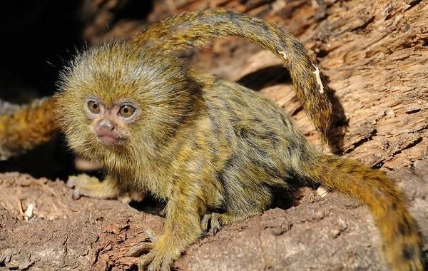 Игрунка-карликовая-обезьяна-Описание-особенности-виды-образ-жизни-и-среда-обитания-игрунки-4