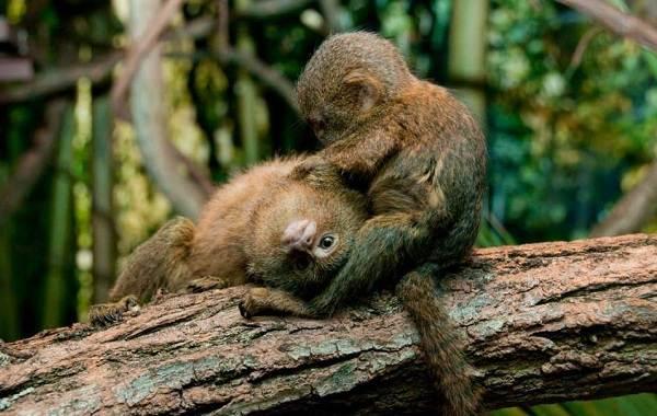 Игрунка-карликовая-обезьяна-Описание-особенности-виды-образ-жизни-и-среда-обитания-игрунки-5