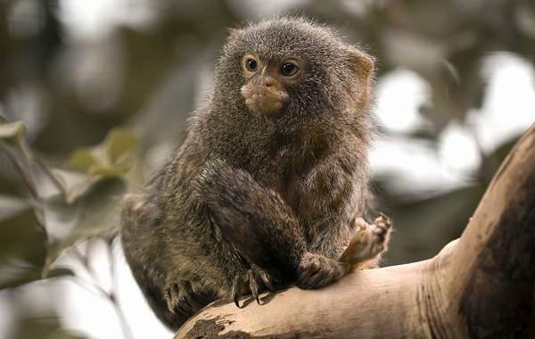 Игрунка-карликовая-обезьяна-Описание-особенности, виды, образ жизни и среда обитания игрунки-