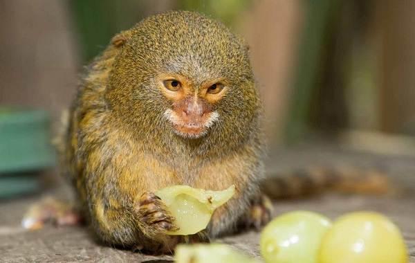 Игрунка-карликовая-обезьяна-Описание-особенности-виды-образ-жизни-и-среда-обитания-игрунки-8