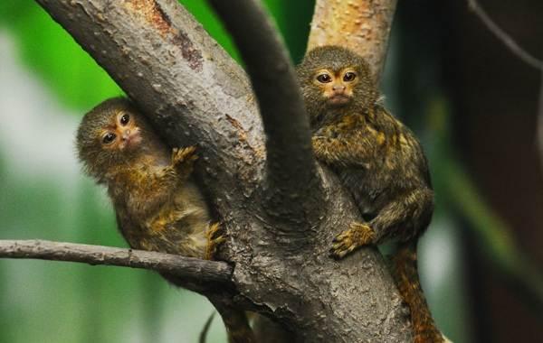 Игрунка-карликовая-обезьяна-Описание-особенности-виды-образ-жизни-и-среда-обитания-игрунки-9