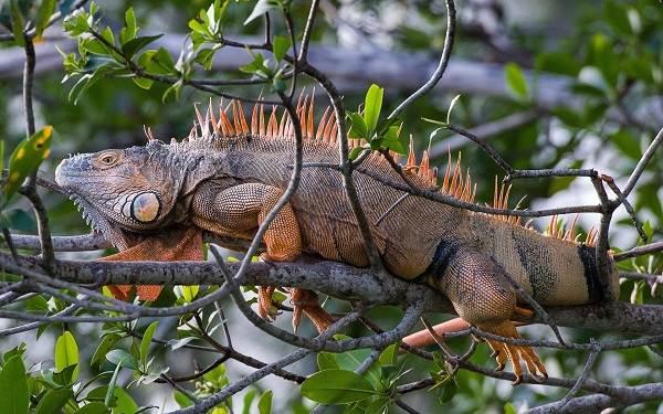 Игуана-животное-Описание-особенности-виды-образ-жизни-и-среда-обитания-игуаны-13
