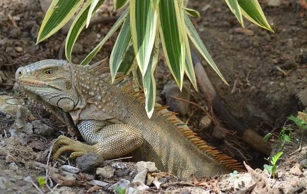 Игуана-животное-Описание-особенности-виды-образ-жизни-и-среда-обитания-игуаны-15
