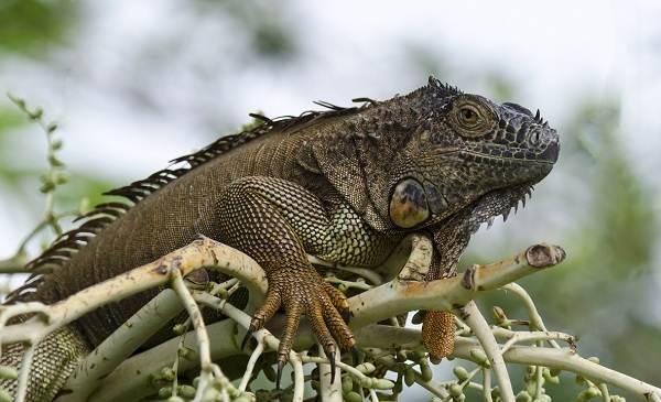 Игуана-животное-Описание-особенности-виды-образ-жизни-и-среда-обитания-игуаны-17