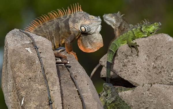 Игуана-животное-Описание-особенности-виды-образ-жизни-и-среда-обитания-игуаны-18