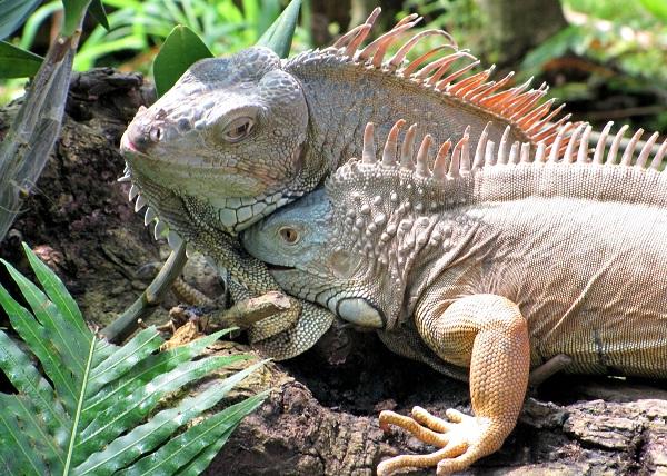 Игуана-животное-Описание-особенности-виды-образ-жизни-и-среда-обитания-игуаны-20