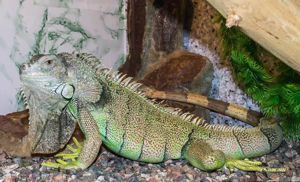 Игуана-животное-Описание-особенности-виды-образ-жизни-и-среда-обитания-игуаны-8