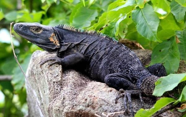 Игуана-животное-Описание-особенности-виды-образ-жизни-и-среда-обитания-игуаны-9