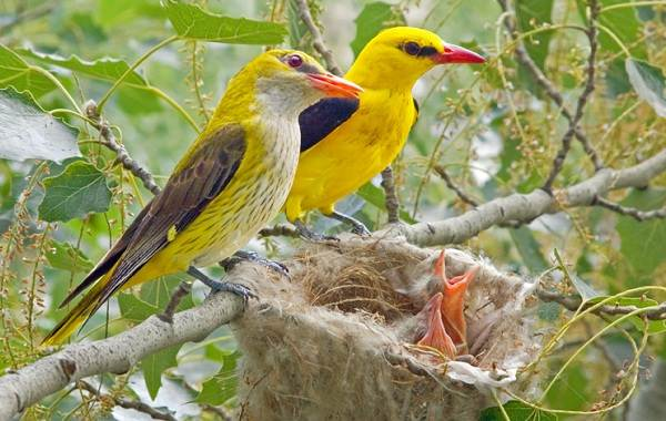 Иволга-птица-Описание-особенности-виды-образ-жизни-и-среда-обитания-иволги-10