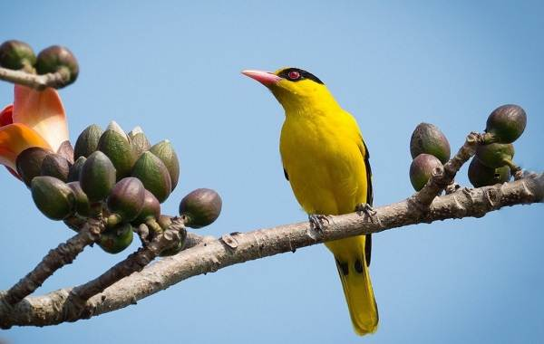 Иволга-птица-Описание-особенности-виды-образ-жизни-и-среда-обитания-иволги-11