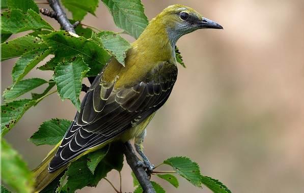 Иволга-птица-Описание-особенности-виды-образ-жизни-и-среда-обитания-иволги-12