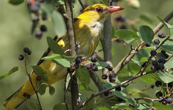 Иволга-птица-Описание-особенности-виды-образ-жизни-и-среда-обитания-иволги-14