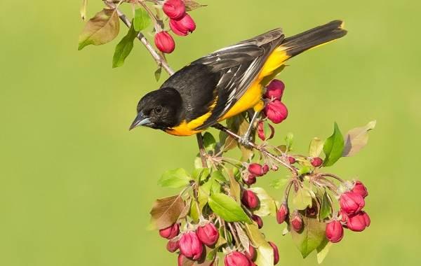 Иволга-птица-Описание-особенности-виды-образ-жизни-и-среда-обитания-иволги-16
